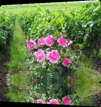 Vign_roses_z